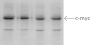western blot, processed / washed with Freedom Rocker
