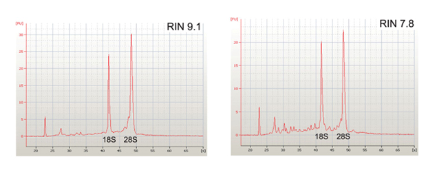 RNA extraction RIN analysis