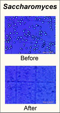 Saccharmoyces before and after homogenization